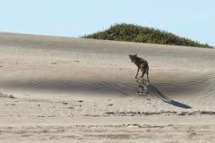 Kojote auf dem Sand Lizenzfreies Stockfoto