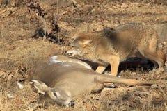 Kojote auf Rotwild-Karkasse Stockfoto