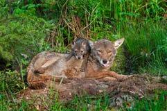Kojote (Canis lantrans) mit der Zunge heraus und Welpen Lizenzfreie Stockfotos