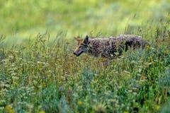Kojote, Canis latrans Stockfoto