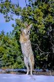 Kojote, Canis latrans Lizenzfreie Stockbilder