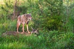 Kojote (Canis latrans) steht an der Höhle - Welpen-Läufe nach rechts Stockbild