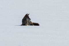 Kojote, der auf dem Schnee liegt Lizenzfreie Stockbilder