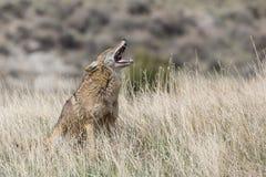 Kojote, der auf Grasland vocalizing ist Stockfoto