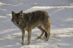 Kojote, der auf Schnee geht Stockfotografie