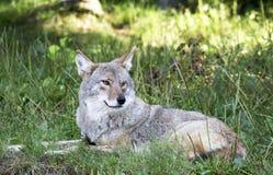 Kojote, der in das Gras legt Lizenzfreies Stockfoto
