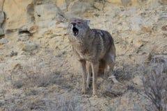 Kojote, der in der Schlucht kläfft Lizenzfreie Stockfotografie