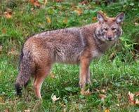 Kojote, der die Kamera betrachtet Lizenzfreie Stockfotos