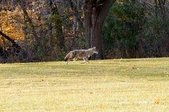 Kojote in der Herbstsaison lizenzfreie stockfotografie