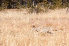 Kojote, der Heuschrecke auf dem Gebiet von goldenen gelben Gräsern jagt Lizenzfreie Stockfotos