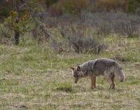Kojote, der nach Lebensmittel sucht Lizenzfreies Stockfoto