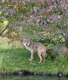 Kojote, der unter Herbstblätter späht Lizenzfreie Stockfotografie