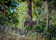 Kojote, der zurück schaut stockfoto
