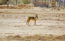Kojote, der zurück schaut Stockfotos