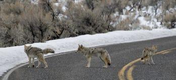 Kojote drei in der Straße stockfotos