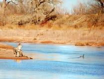 Kojote-Ente-Jagd lizenzfreie stockbilder