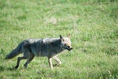Kojote-Grinsen Lizenzfreies Stockbild