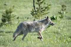 Kojote-Haltung Stockbilder
