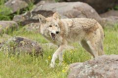 Kojote im Gras Lizenzfreie Stockfotos