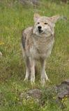 Kojote im Gras Stockbilder