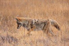 Kojote im Gras Lizenzfreies Stockbild