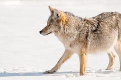 Kojote im Schnee - Yellowstone Nationalpark Lizenzfreie Stockfotos
