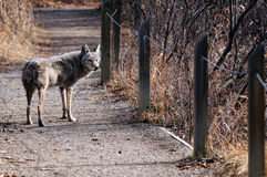 Kojote im städtischen Schongebiet, Calgary, Alberta Lizenzfreies Stockfoto
