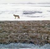 Kojote im Winter Stockbild