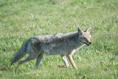 Kojote-Lächeln Lizenzfreie Stockfotos