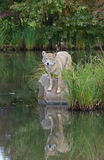 Kojote mit Reflexion Stockbilder