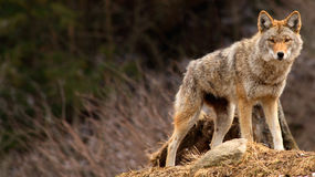 Kojote oben auf einen Hügel Stockfotos