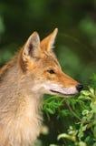 Kojote-Portrait Lizenzfreie Stockbilder