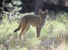 Kojote-Starren Stockfoto