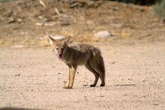 Kojote steht auf dem Sand in der Mojave-Wüste stockfotografie