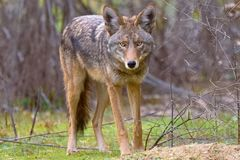 Kojote-Todesstarren an König Gillette Ranch stockbild