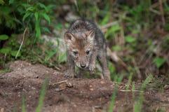 Kojote-Welpe (Canis latrans) klettert aus Höhle heraus Lizenzfreie Stockfotografie