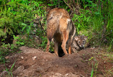 Kojote-Welpe (Canis latrans) schaut heraus von Den Whil Stockfoto