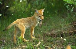 Kojote-Welpe mit Steuerknüppel Stockfoto
