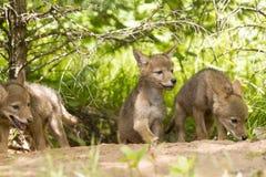 Kojote-Welpen-Sänfte Stockbilder