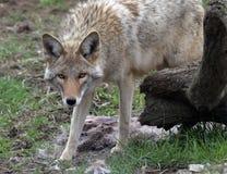Kojoteanstarren Stockfoto