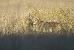 Kojotejagd im Graslandgras Lizenzfreies Stockfoto