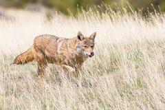 Kojotejagd in Oklahoma-Ebenen lizenzfreies stockbild