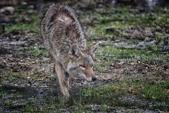 Kojotenähern Stockbilder