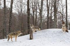 kojoty Zdjęcie Royalty Free