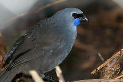 Free Kokako Endemic Wattlebird Of New Zealand Stock Image - 158289201