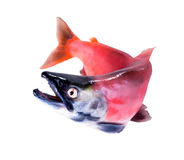 Kokanee三文鱼(Oncorhynchus nerka)在它产生上色isol 库存照片