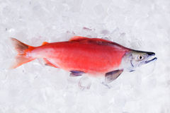 Kokanee三文鱼(Oncorhynchus nerka)在被击碎的冰上 库存照片