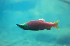 Kokanee salmon Royalty Free Stock Photos