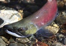 Kokanee Salmon Coming uit het Water Stock Afbeeldingen