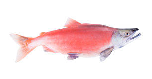 Kokanee Salmon (Oncorhynchus nerka) in its spawning colors  isol Stock Images
